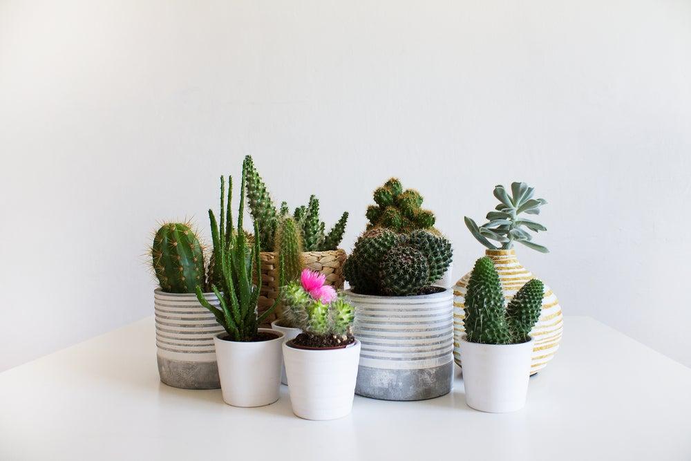 Decorar con cactus Estas ideas te fascinarn Mi Decoracin