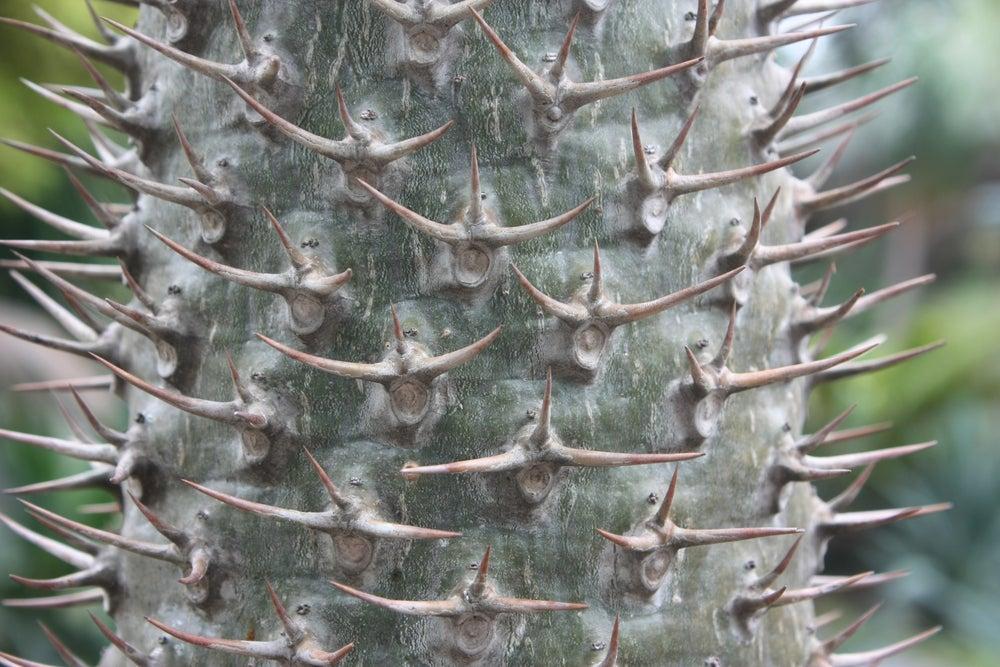 Palma de Madagascar.