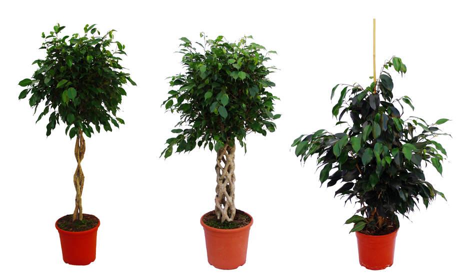 Ficus trenzado.