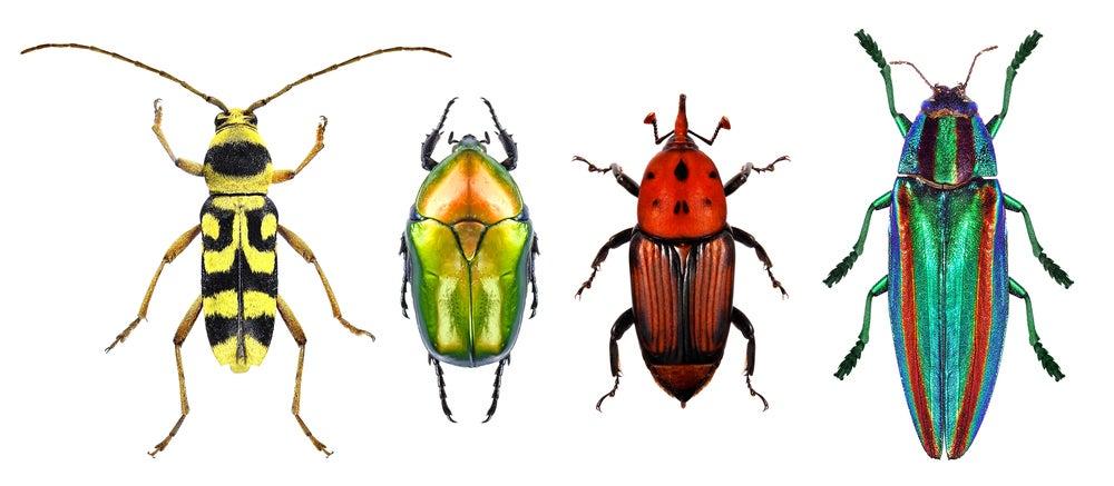 escutoides en escarabajos