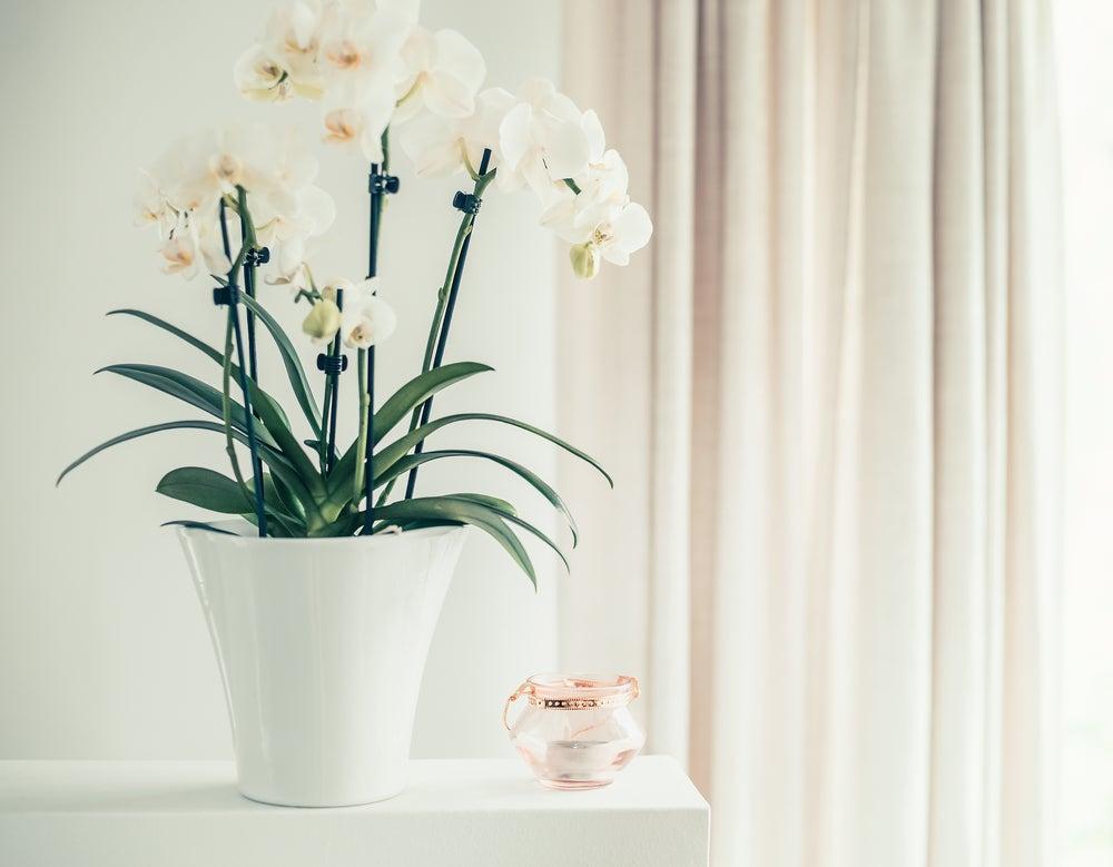 flores en el hogar, orquídeas