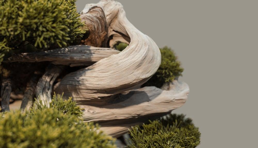 Bonsai pino silvestre.