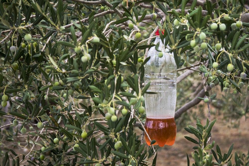 matamoscas casero en olivo