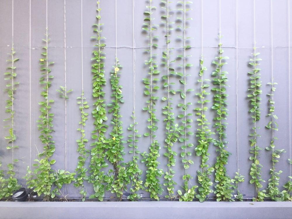 Planta enredadera por los alambres.