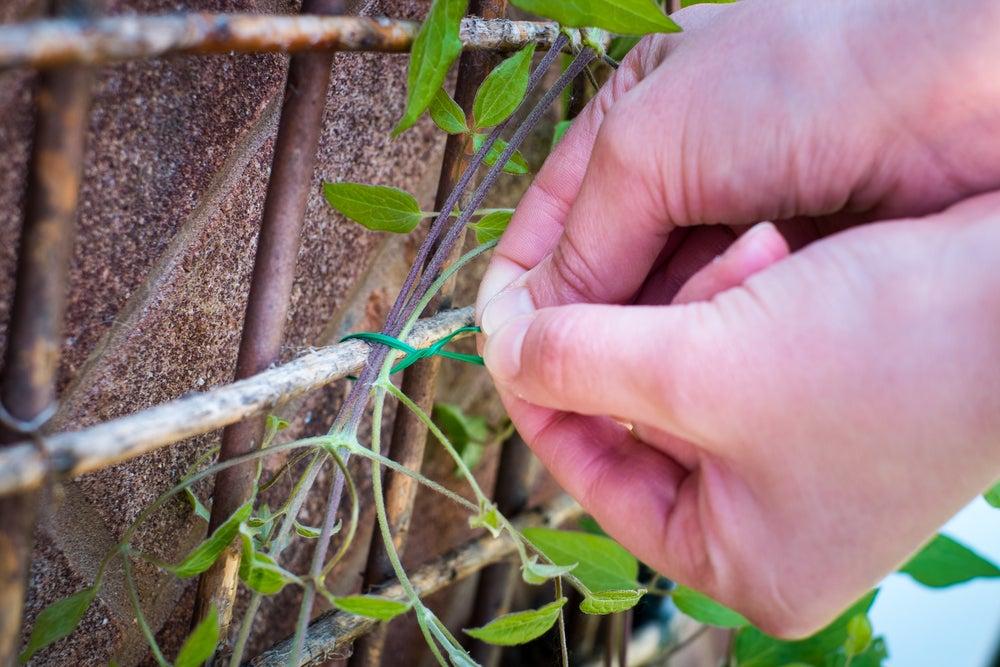 Guiar la planta trepadora.