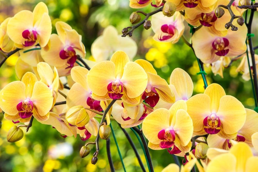 Planta hibiscos.
