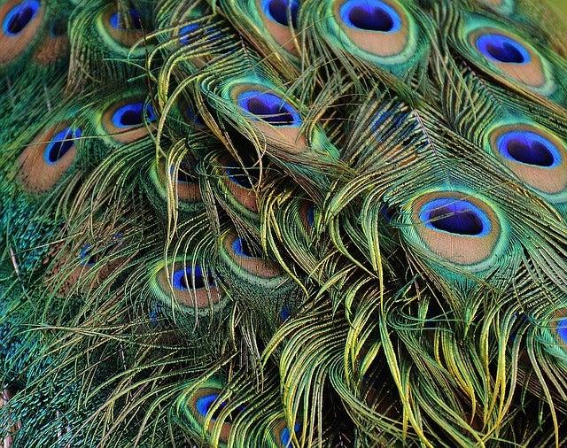 Los abanicos de pluma de pavo real eran un accesorio de alta sofisticación.