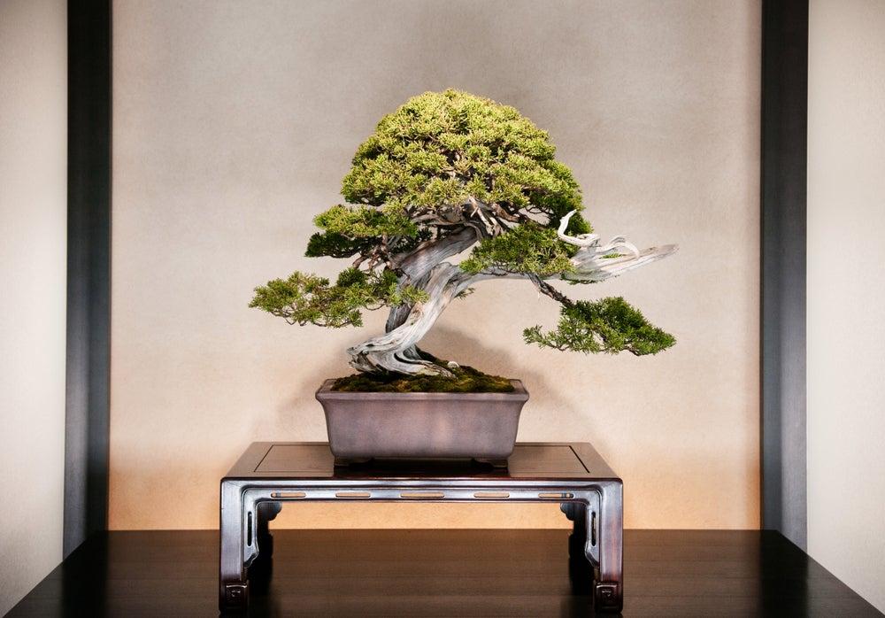 Decorar con bonsáis y cómo cuidarlos