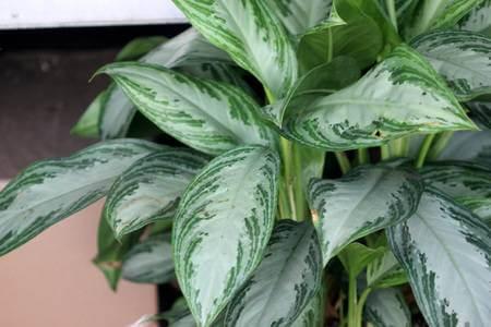 Aracea planta.