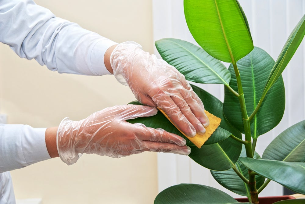 Limpiar planta.