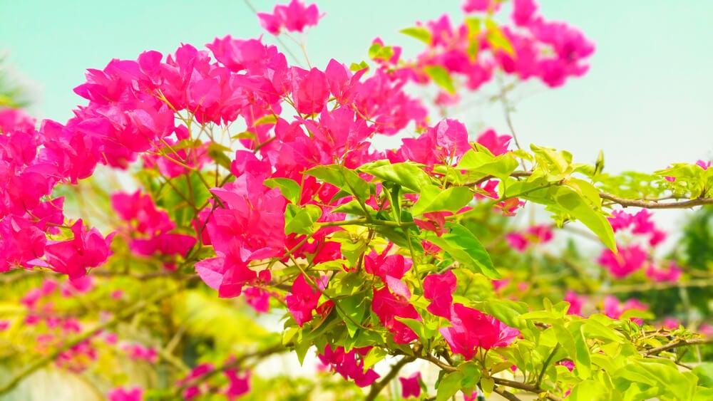 Bougainvillea glabra.
