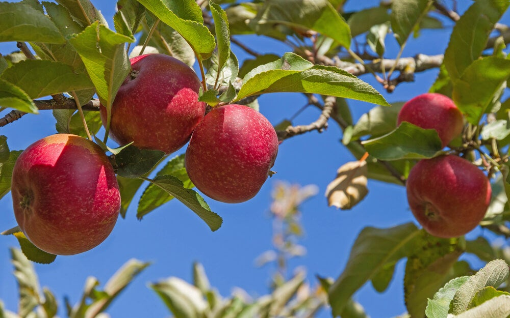 Árbol manzano.