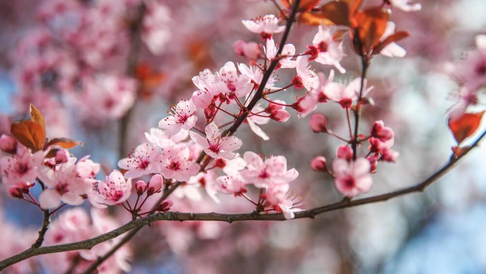Flor del melocotonero.