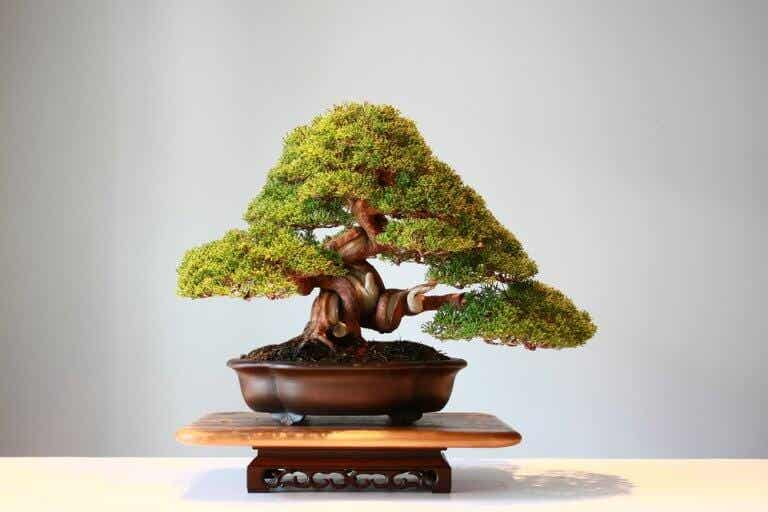 Los bonsáis: bonitos árboles en miniatura