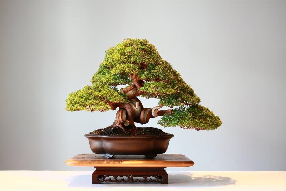 Vaso con un bonsai.