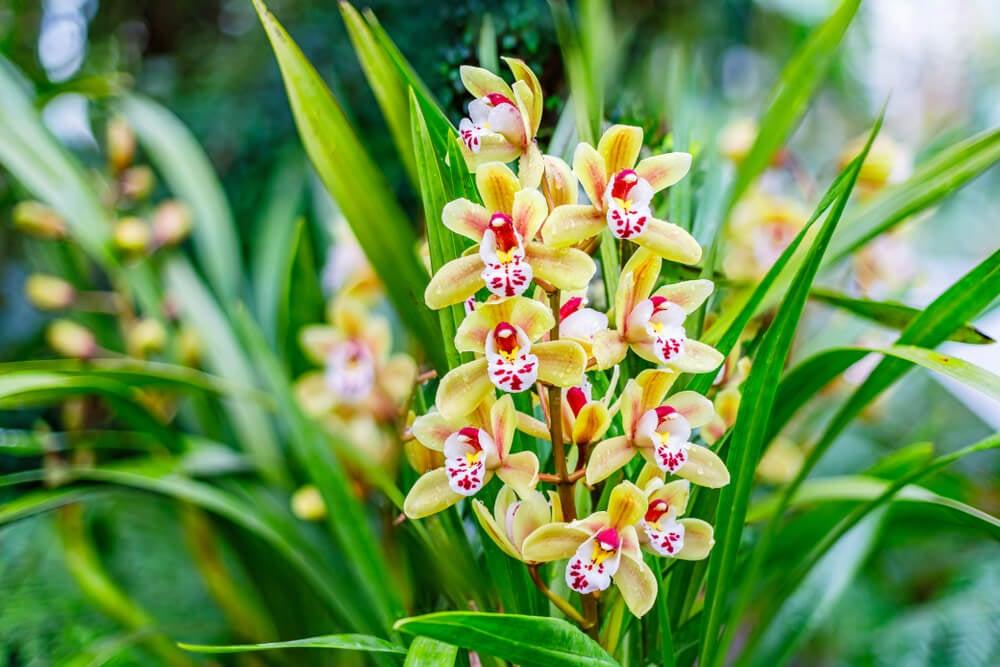 Orquídea Cymbidium.