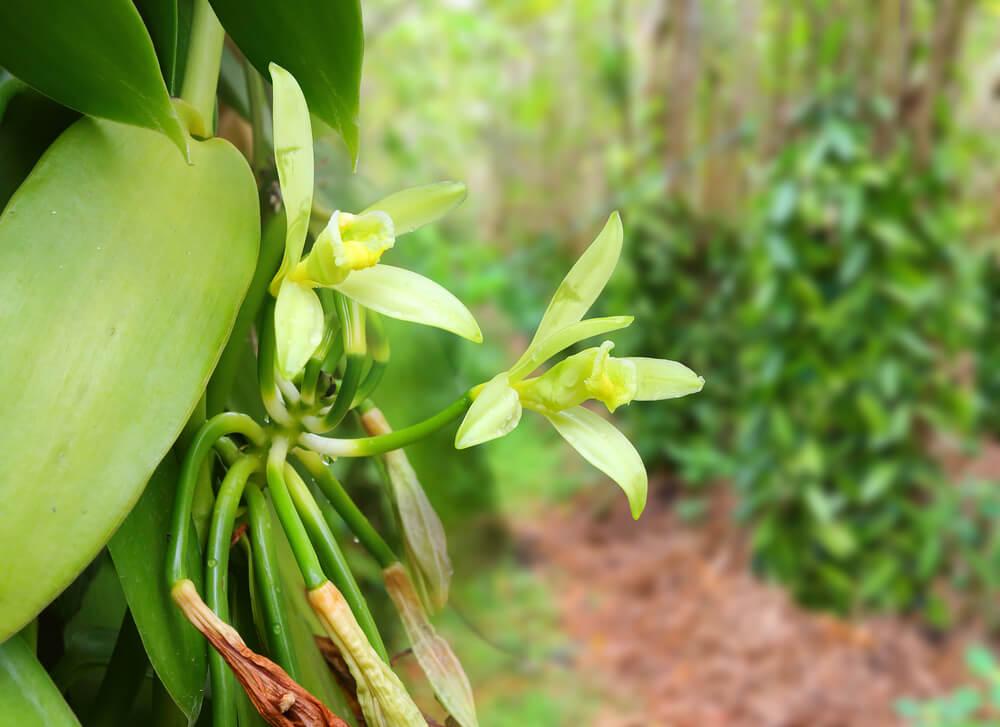 Orquídea vainilla.