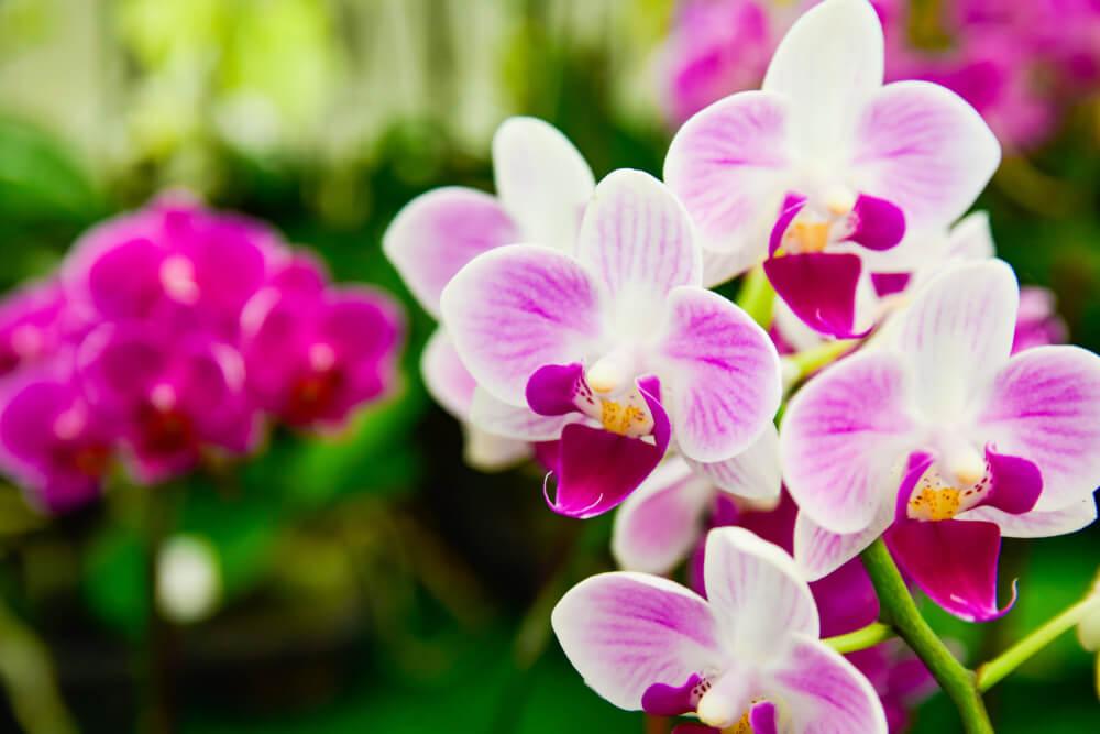 Orquídea phalaenopsis.
