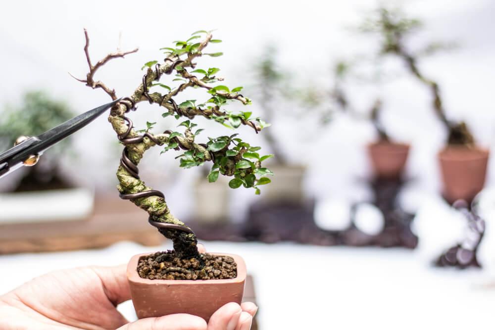 Podación de un bonsái.