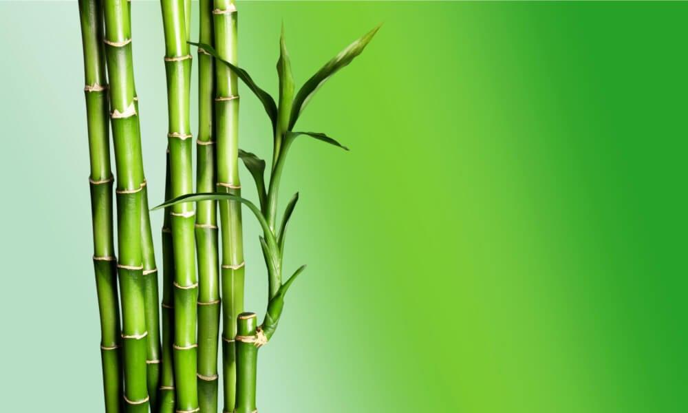 Planta de bambú.