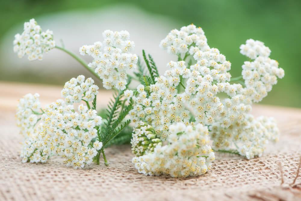 Flores secas, milenrama.