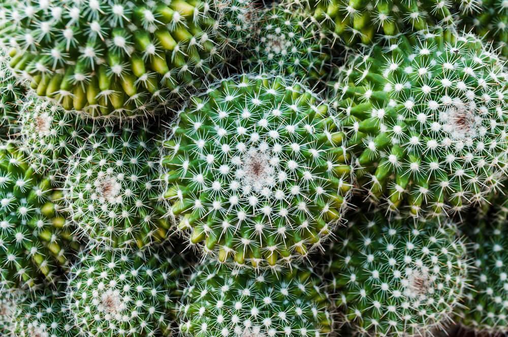 Cactus globular.