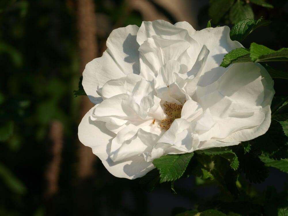 Rosa Blanc double de Coubert.