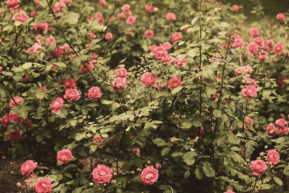 Rosa mata.