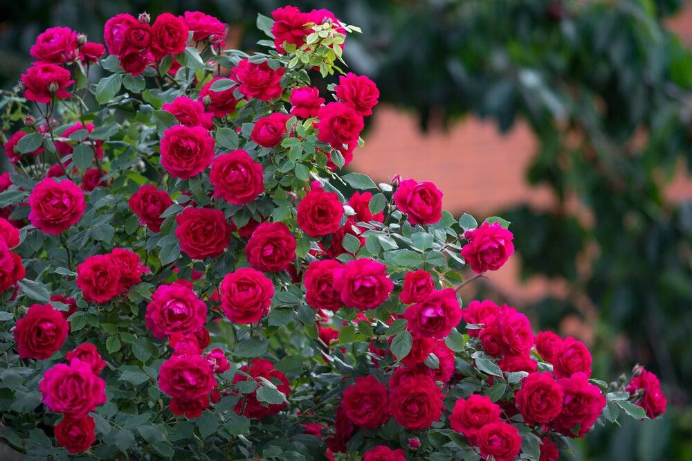 La rosa siempre será la reina de la flores