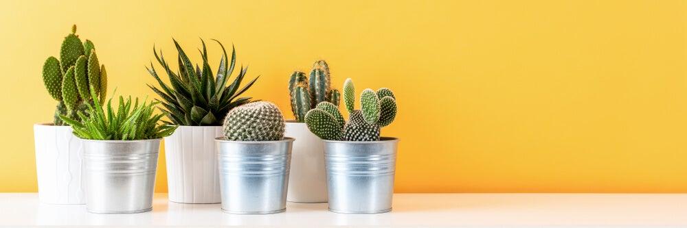 Usos de los cactus.