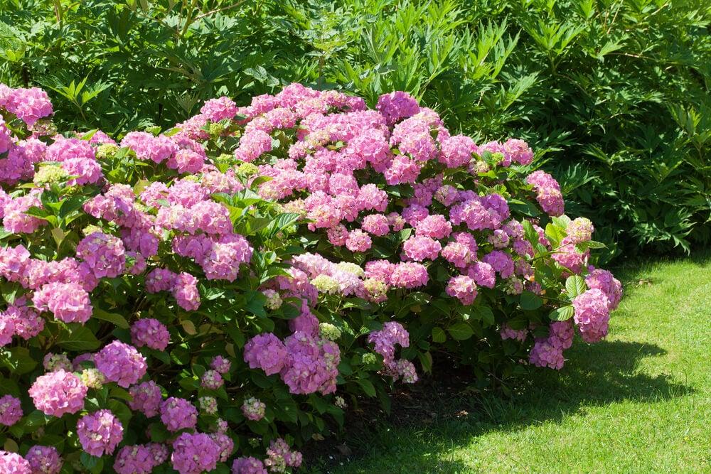 Arbusto de flor.
