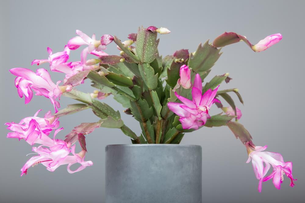 Cactus de Navidad con las flores rosas.