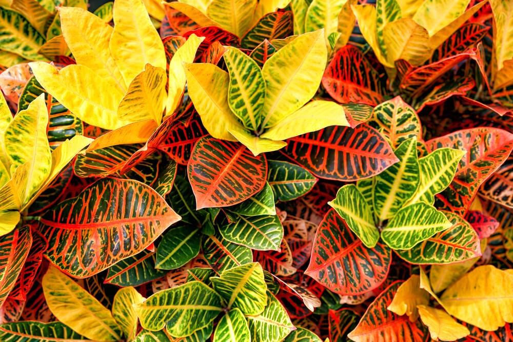 Plantas de hojas coloreadas; crotón