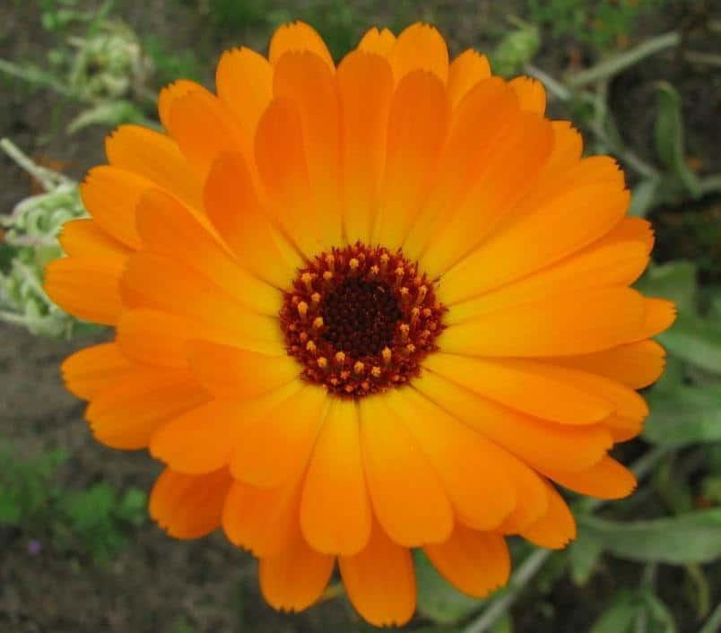 Plantas antimosquitos: caléndula