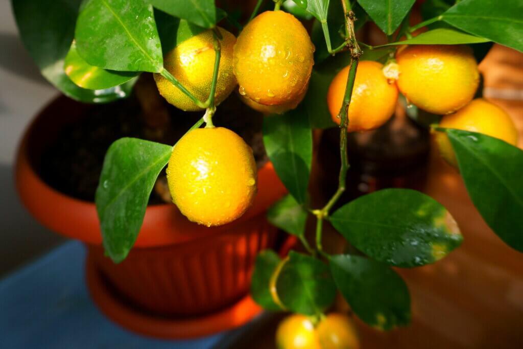 Árboles frutales en versión mini para decorar tu hogar