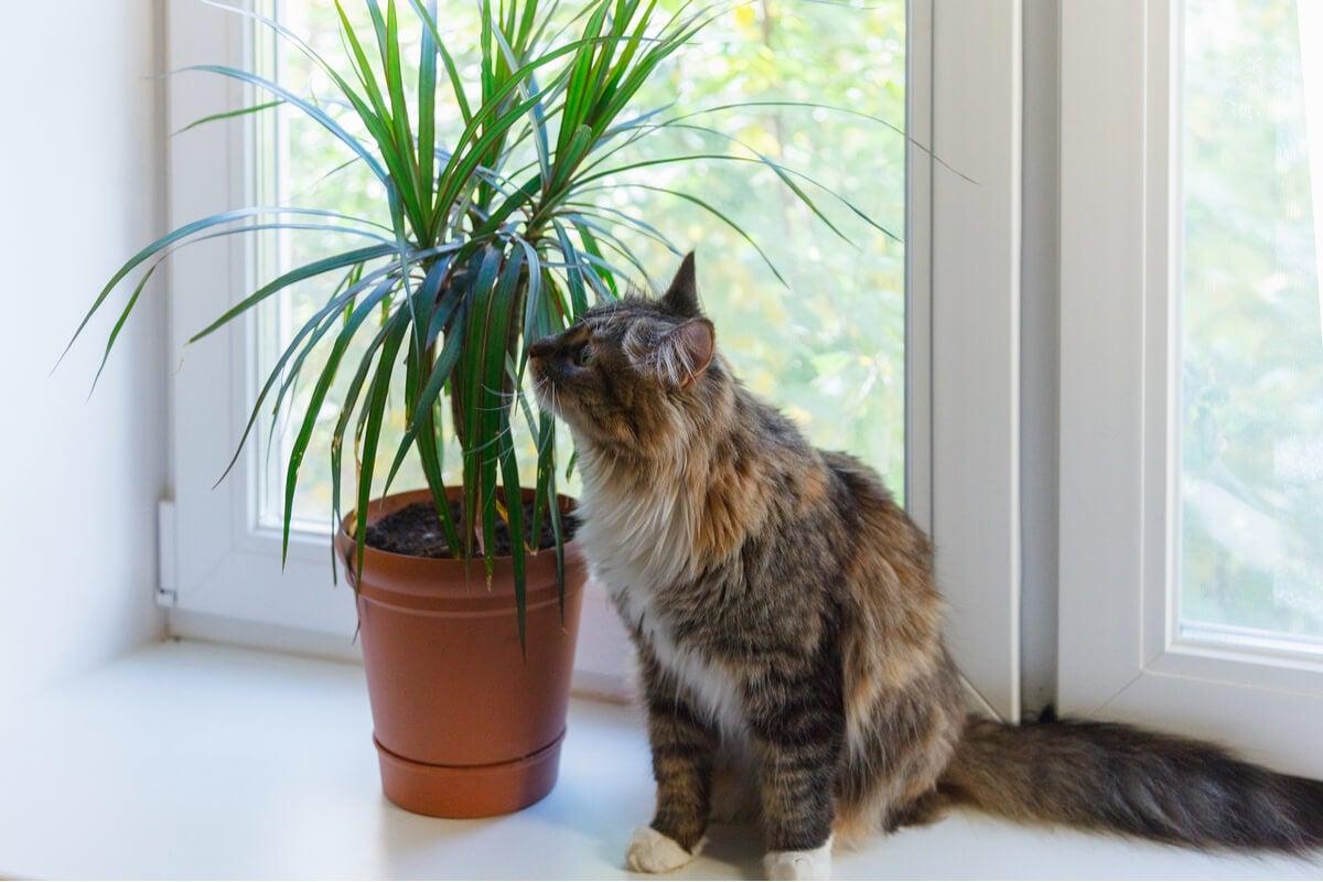 ¿Conoces la drácena? Una planta todoterreno para tener en casa