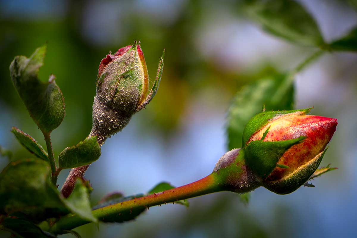Take care of your roses from pests and fungi.