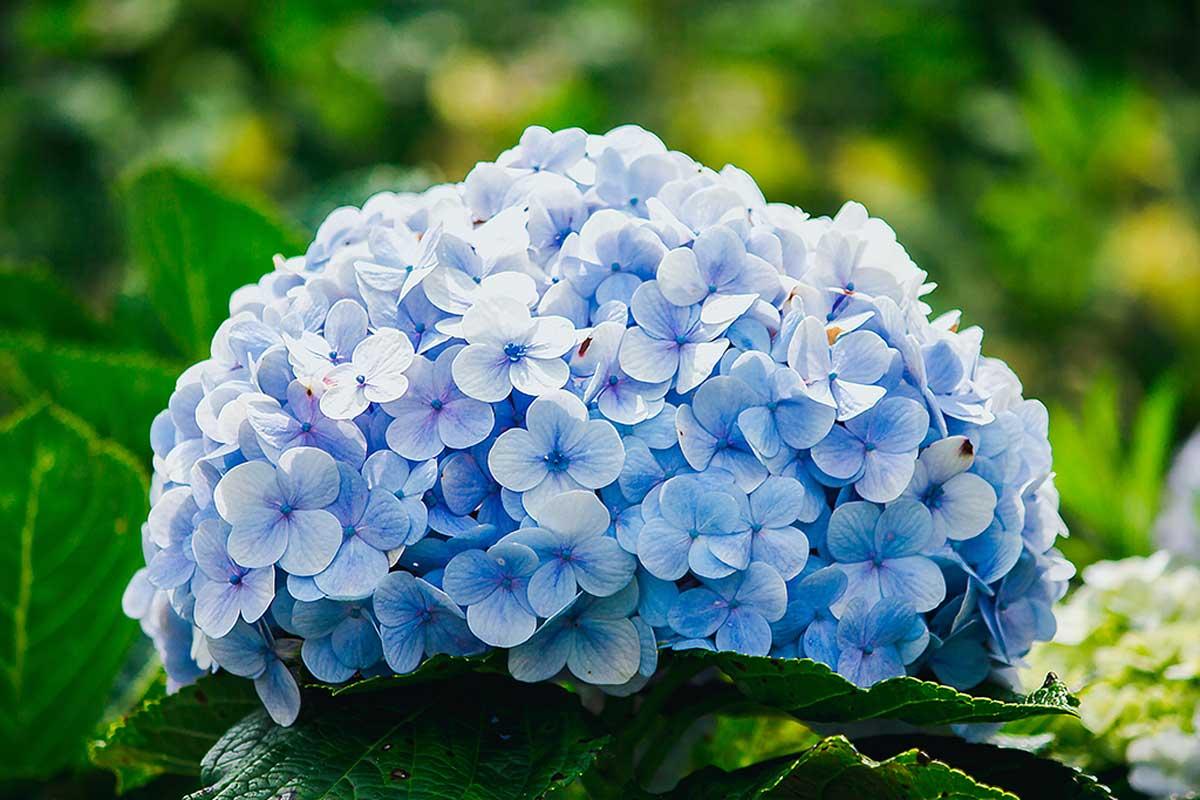 Las hortensias representan soledad.