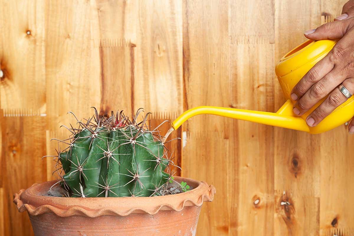 Los cactus no requieren mucho riego.