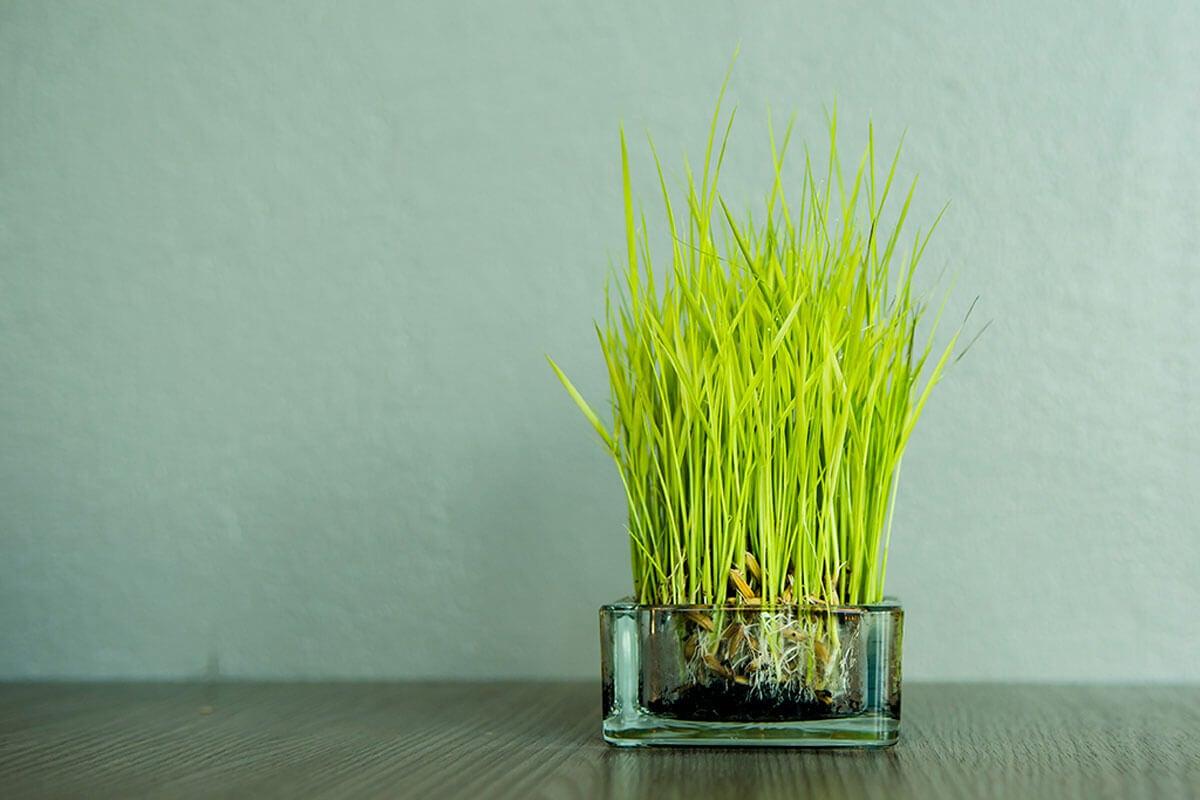 Germinar esta planta en casa es muy fácil.