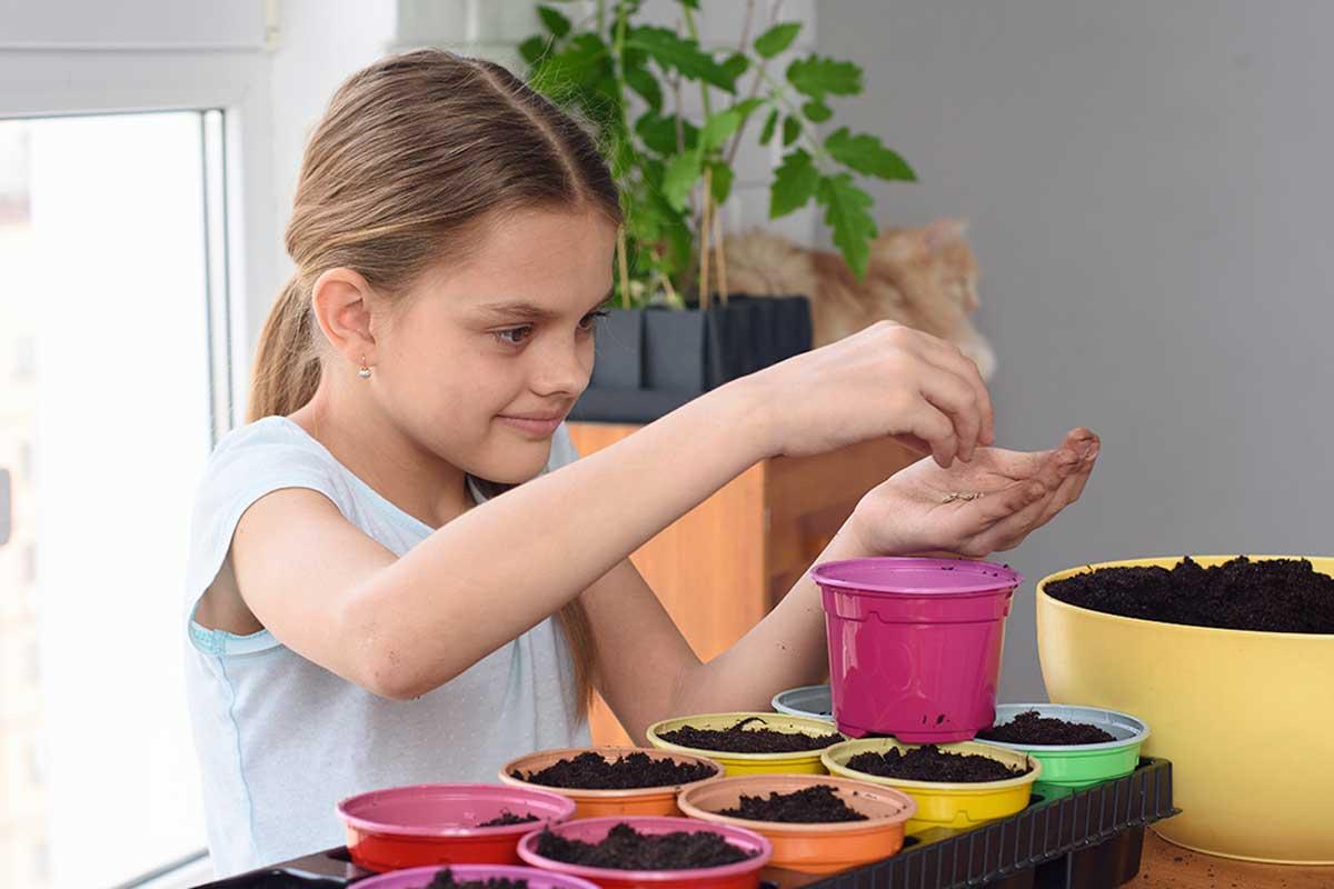 Siembra pasto de trigo en macetas para niños.