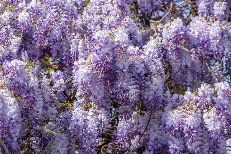 Glicina, una planta trepadora y hermosa