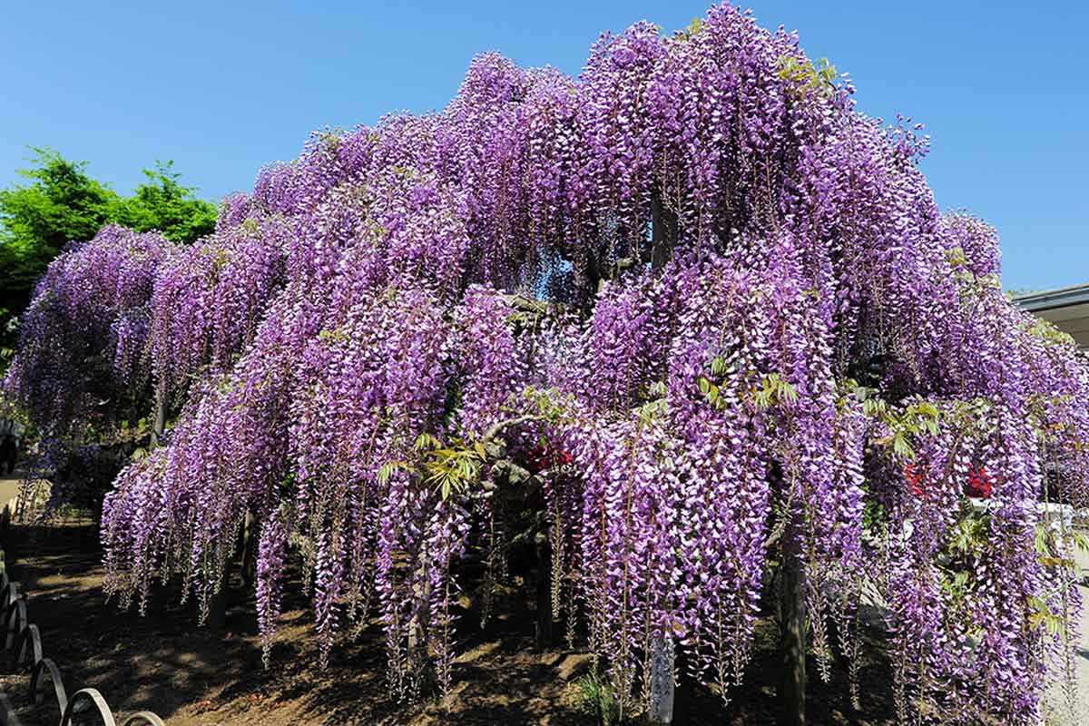 Know the characteristics of Wisteria.