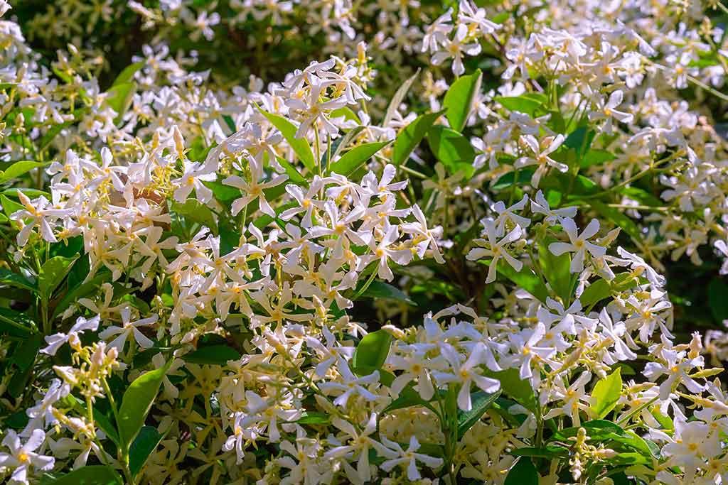 Jazmín, cultiva esta planta de aroma encantador