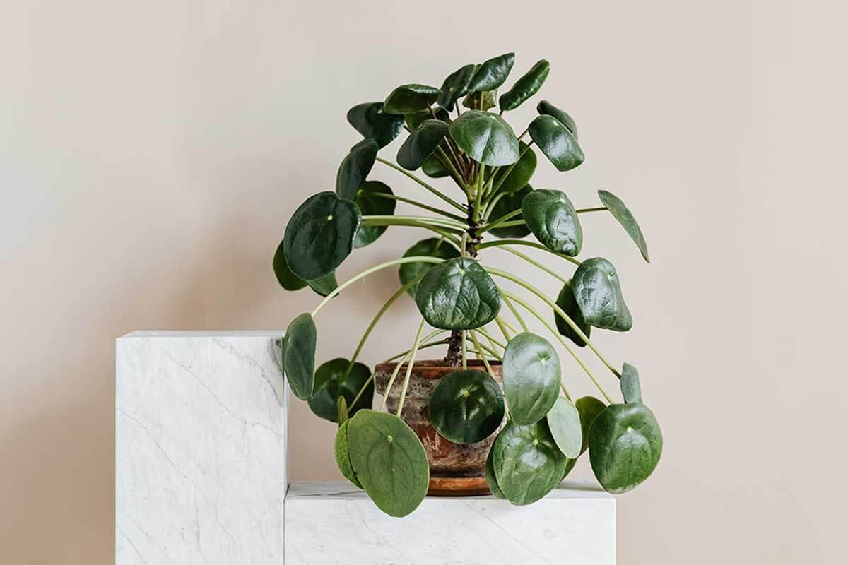 Pilea peperomioides, planta pet friendly.