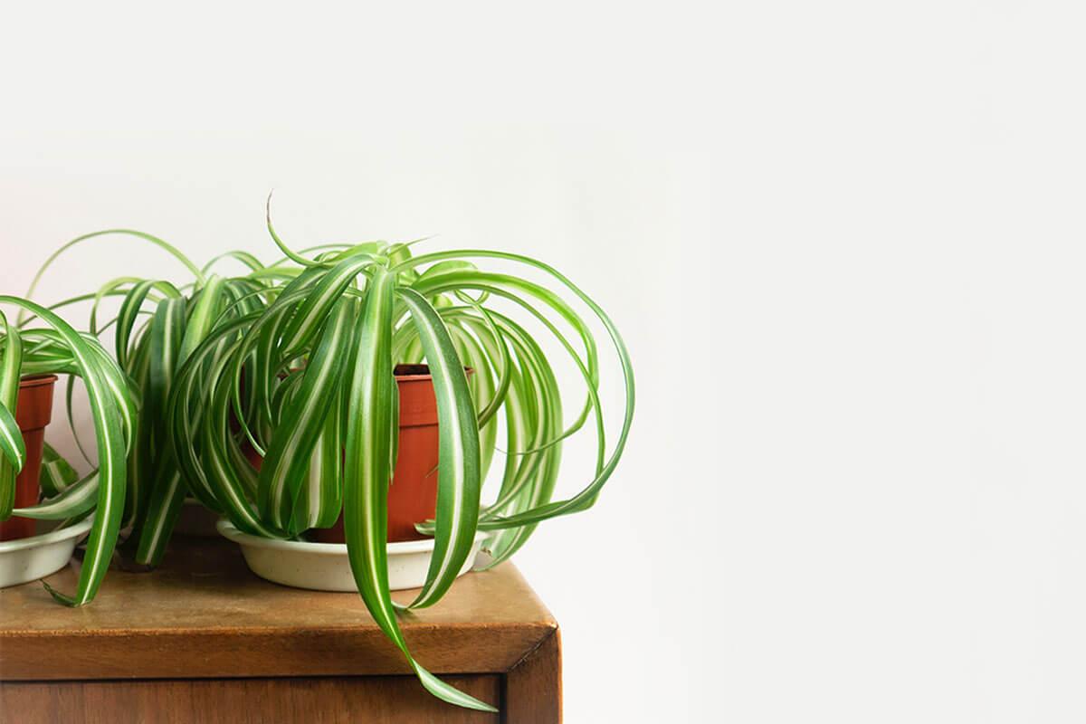 Cinta o Chlorophytum comosum es una de las plantas pet friendly.
