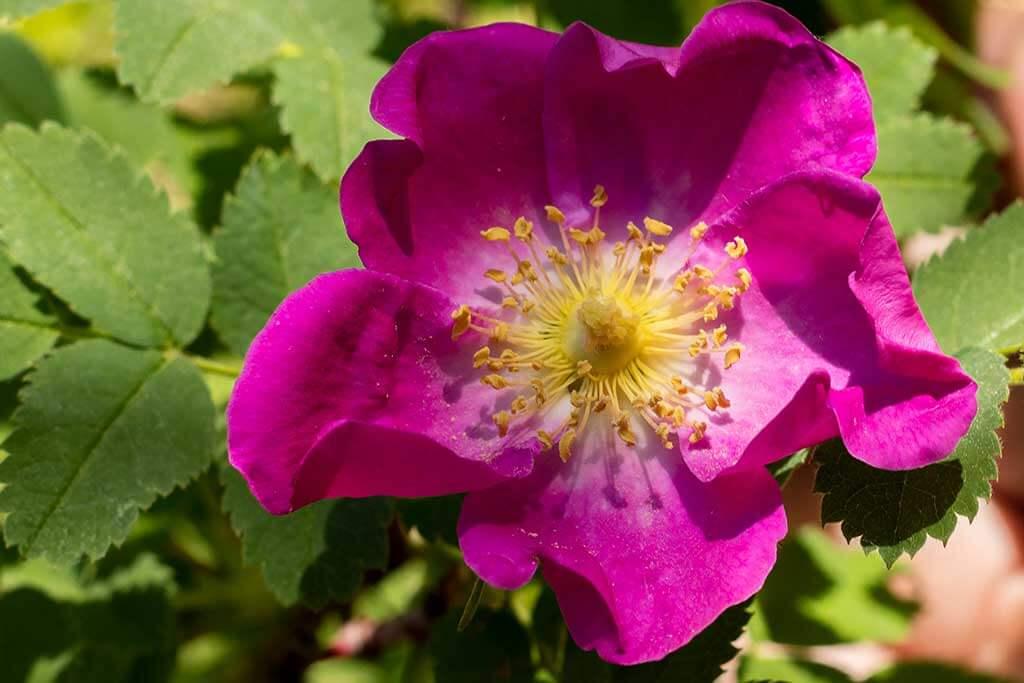 Rosa mosqueta, una rosa silvestre con grandes beneficios