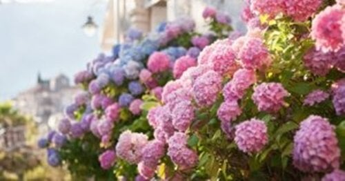 Prendersi cura delle ortensie nel giardino