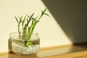 Bambù della fortuna