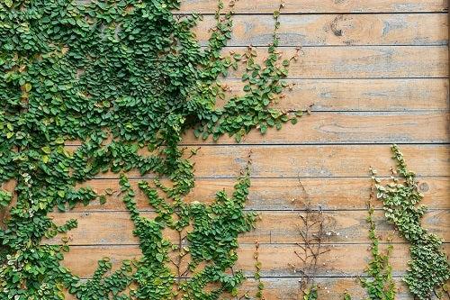 edera sulla parete
